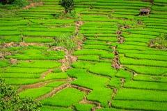 Groen Terrassenpadieveld, een mooie natuurlijke schoonheid op berg in Nan, Khun Nan Rice Terraces, Boklua Nan Province, Thailand Stock Afbeeldingen