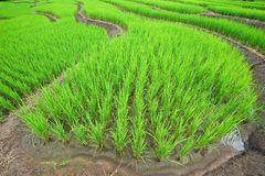 Groen Terrasvormig Padieveld stock foto
