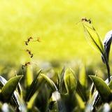 Groen theeblad met mier op het Stock Foto