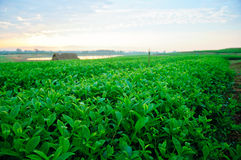 Groen theelandbouwbedrijf Stock Afbeeldingen