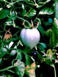 Groen tometobehang royalty-vrije stock fotografie