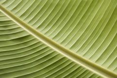 Groen Tropisch Blad Stock Afbeelding