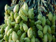 Groen Tui Trees Stock Foto's