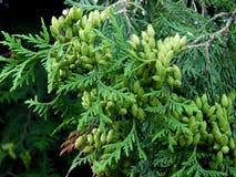 Groen Tui Trees Royalty-vrije Stock Afbeeldingen