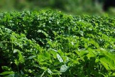 Groen van aardappel stock foto's