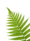 groen varenblad Royalty-vrije Stock Afbeelding