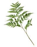 Groen varenblad dat op witte achtergrond wordt geïsoleerd Stock Afbeelding
