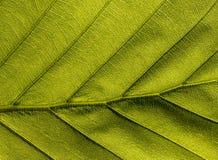 Groen veiny Blad royalty-vrije stock fotografie