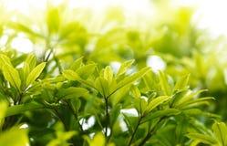 Groen verlof Stock Fotografie