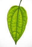 Groen verlof Royalty-vrije Stock Fotografie