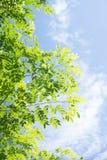 Groen verlof met blauwe hemel en wolkenachtergrond Royalty-vrije Stock Foto's