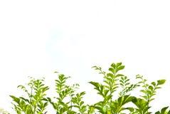 Groen verlof op witte achtergrond Royalty-vrije Stock Foto's