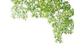 Groen verlof op witte achtergrond Royalty-vrije Stock Afbeelding