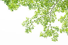 Groen verlof op witte achtergrond Royalty-vrije Stock Afbeeldingen