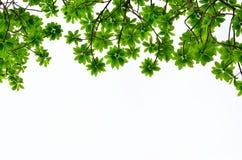 Groen verlof op witte achtergrond Stock Foto's