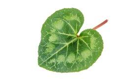 Groen verlof van cyclaam Royalty-vrije Stock Foto