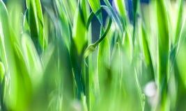 Groen, vers en het gezonde gras van de lente? De aard van de zomer Bokeh vage achtergrond Royalty-vrije Stock Afbeeldingen