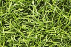 Groen vers gras stock afbeelding