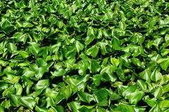 Groen Water Hyacinth Grows In de Vijvers Royalty-vrije Stock Fotografie