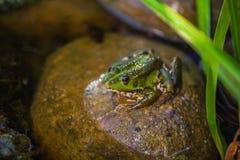 Groen weinig kikkerzitting op een rots in een vijver Stock Fotografie