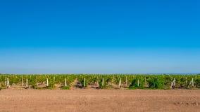 Groen wijngaardplatteland Stock Afbeelding