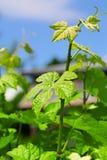Groen wijnstokblad stock foto's