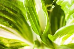 Groen-witte bladeren van hosta Stock Foto's