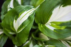Groen-witte bladeren van hosta Stock Afbeeldingen