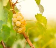 Groen - witte druif (Riesling) Stock Afbeelding
