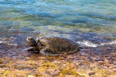 Groen zeeschildpad opheffend hoofd royalty-vrije stock afbeelding