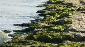 Groen zeewier op strand Stock Foto