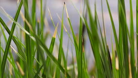 Groen zeggen, riet en gras die in de wind op het meer slingeren stock videobeelden