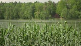 Groen zeggen, riet en gras die in de wind slingeren stock footage