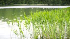 Groen zeggen, riet en gras die in de wind slingeren stock videobeelden