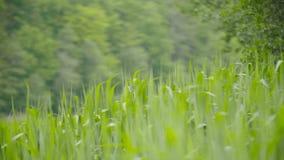 Groen zeggen, riet en gras die in de wind slingeren stock video