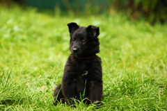 Groendale Puppy sitting royalty free stock photo