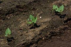 Groende för njurebönor Royaltyfria Foton