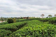 Groene aard in Choui Fong Tea Plantation Royalty-vrije Stock Afbeeldingen
