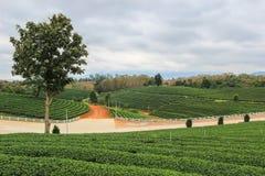 Groene aard in Choui Fong Tea Plantation Stock Afbeelding