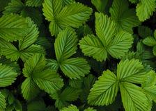 Groene aardbeibladeren Royalty-vrije Stock Afbeelding