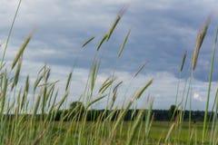 Groene aartjes van tarwe op het gebied onder de donkere bewolkte hemel in het dorp Stock Afbeelding
