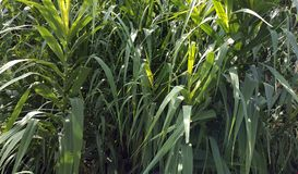 Groene Achtergrond Het gebied van het graan Stock Fotografie