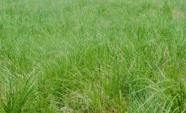 Groene achtergrond van dichtbegroeid vers gras Stock Afbeelding