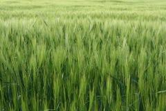 Groene achtergrond van levendig groen gras van weide royalty-vrije stock afbeeldingen