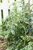 Groene Afgebakende Tomaten Stock Foto's