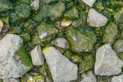 Groene algen Stock Fotografie