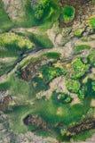 Groene Algen bij de Bodem van een Pool van de Vissenbroedplaats stock fotografie