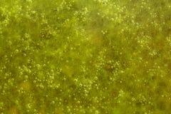 Groene algen met luchtbellen royalty-vrije stock foto