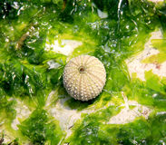 Groene algen met Zeeëgel Stock Afbeeldingen