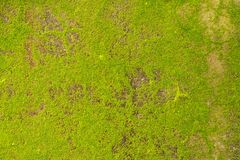 Groene algen op concrete Muur royalty-vrije stock fotografie